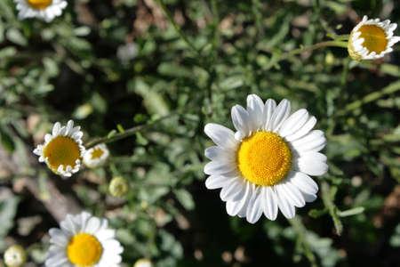 leucanthemum: oxeye daisy (Leucanthemum vulgare) Stock Photo