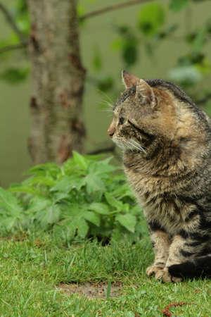 felis silvestris catus: Cat (Felis silvestris catus) Stock Photo