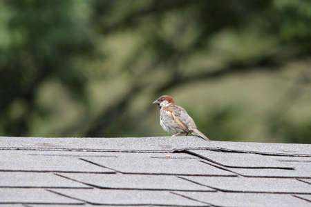 House sparrow perching, Passer domesticus