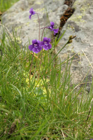 angiosperms: common butterwort, Pinguicula vulgaris Stock Photo