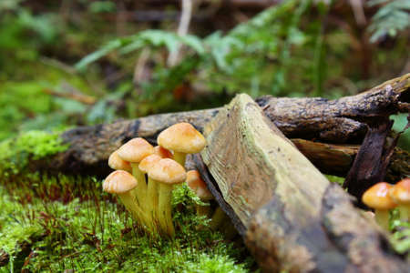 clustered: sulfur tuft or clustered woodlover, Hypholoma fasciculare Stock Photo