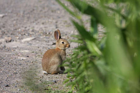 European rabbit or common rabbit ,Oryctolagus cuniculus