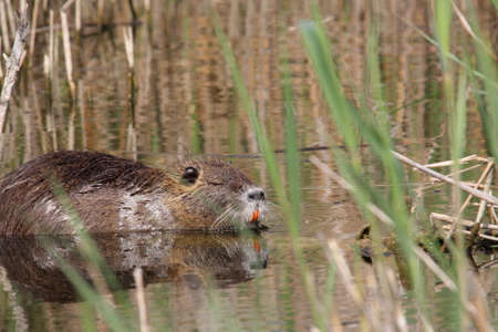 Coypu or river rat or nutria,  Myocastor coypus