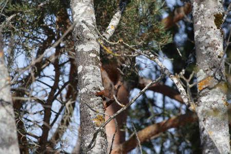 sciurus: red squirrel ,Sciurus vulgaris