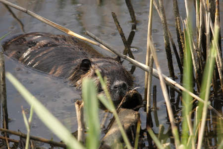 nutria: Coypu or river rat or nutria,  Myocastor coypus