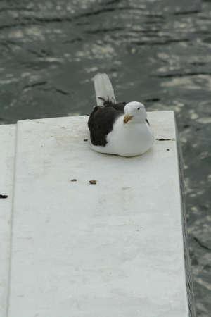larus: European herring gull, Larus argentatus