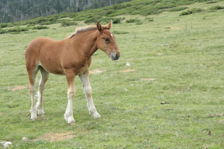 foal in Pyrenees Stock Photo