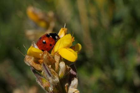 coccinella: seven-spot ladybird pollinate flower, Coccinella septempunctata Stock Photo