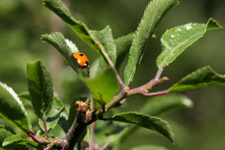 seven-spot ladybird (Coccinella septempunctata) Stock Photo