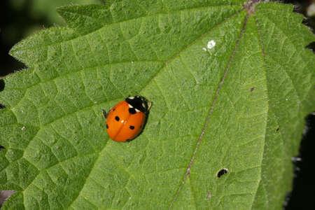 coccinella: seven-spot ladybird on leaf (Coccinella septempunctata)