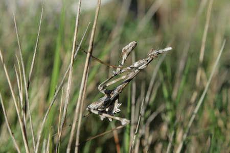 Empusa mantis on branch, empusa pennata