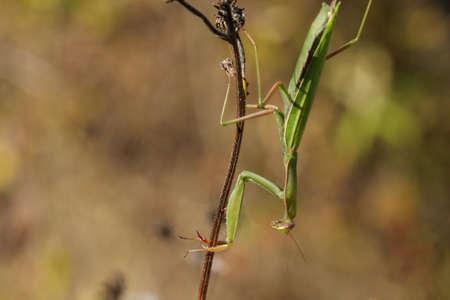 european mantis: Praying mantis or european mantis ,Mantis religiosa