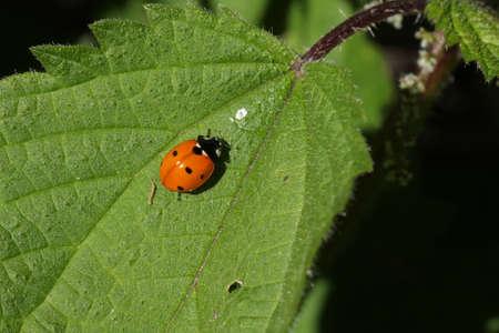 coccinella: seven-spot ladybird on leaf ,Coccinella septempunctata Stock Photo