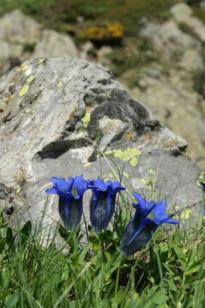 gentian flower: stemless gentian , gentiana acaulis
