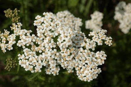 yarrow: Yarrow, Achillea millefolium