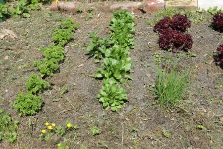 cornsalad: vegetable garden with lettuce, parsley and cornsalad