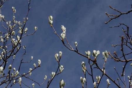 sorbus: Leaves of whitebeam in spring, Sorbus aria