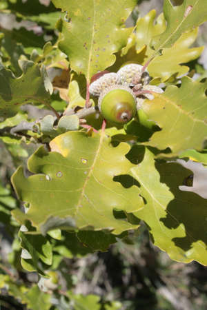 Leaves and acorns of downy or pubescent oak, Quercus pubescens