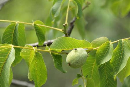 Walnut on walnut tree, Juglans regia