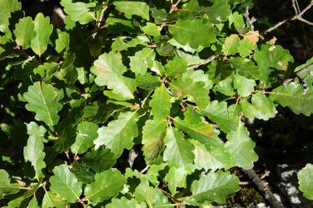 pubescent: Leaves of downy or pubescent oak, Quercus pubescens