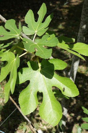 leaves of common fig, Ficus carica