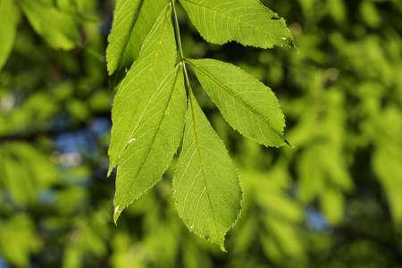 화산재, Fraxinus excelsior의 잎