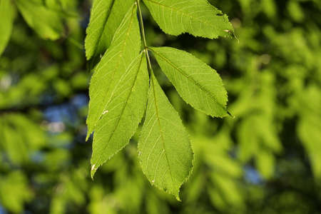 leaves of ash , Fraxinus excelsior