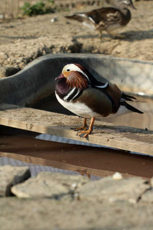 palmiped: male mandarin duck , Aix galericulata
