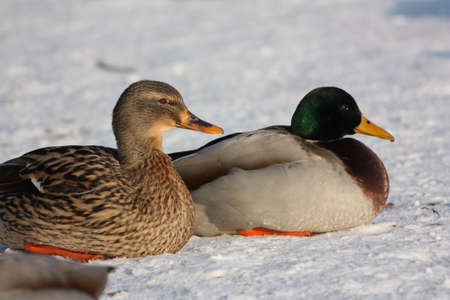 palmiped: Couple of Mallard  or wild duck, Anas platyrhynchos Stock Photo