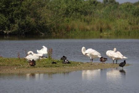 group of Mute Swan on water ,Cygnus olor