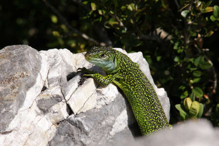 head stones: green lizard on a rock ,Lacerta bilineata Stock Photo