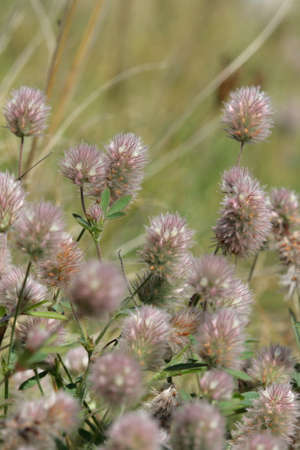 haresfoot clover or rabbitfoot clover ,Trifolium arvense Stock Photo