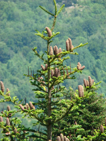 silver Fir with cone in Pyrenees, Abies alba