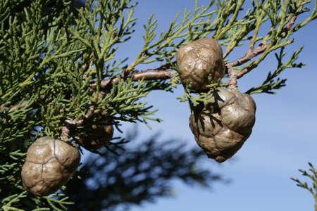 Cone of mediterranean cypress or pencil pine, Cupressus sempervirens Stock Photo