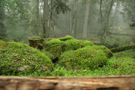 mosses: Mosses in forest, Pyrenees Stock Photo
