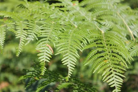 bracken or brake or eagle fern or brakenfern, Pteridium aquilinum Stock Photo
