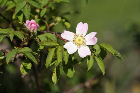 Wild pink flower, Rosa