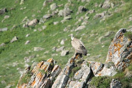Griffon vulture perched on a rock in Pyrenees, Gyps fulvus