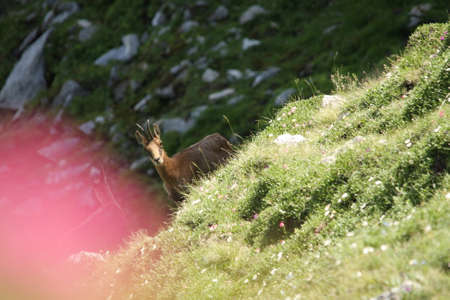 Pyrenean chamois or isard in Pyrenees, Rupicapra pyrenaica Stock Photo