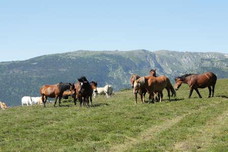 yegua: Manada de caballos en los Pirineos orientales, sur de Francia