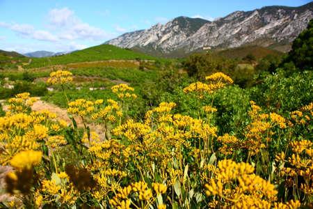 sear: thoroughwax gold hares ear in the Eastern Pyrenees, Bupleurum fruticosum Stock Photo
