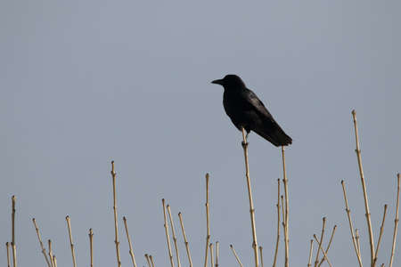 corvus: carrion crow perched on a branch ,Corvus corone