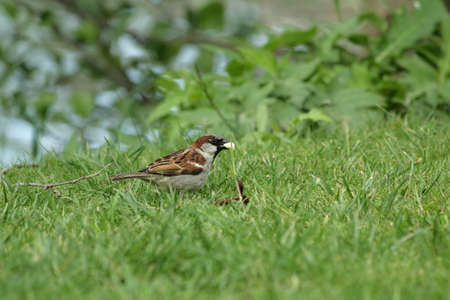 male house sparrow on grass ,Passer domesticus Stock Photo