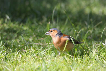 common chaffinch on grass ,Fringilla coelebs Stock Photo