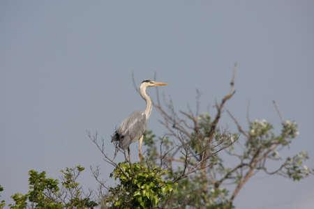 ardea: grey heron ,Ardea cinerea Stock Photo