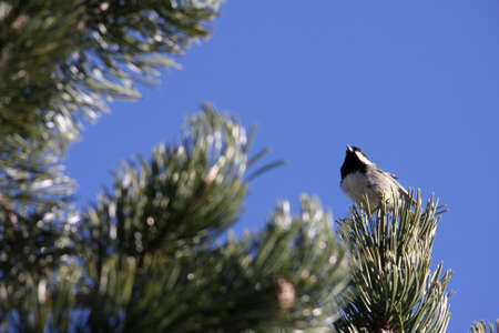 poecile palustris: marsh tit perched on a pine ,Poecile palustris