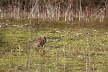 young european rabbit or common rabbit ,Oryctolagus cuniculus