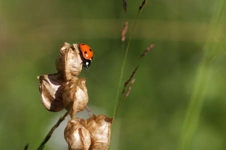 coccinella: seven-spot ladybird ,Coccinella septempunctata