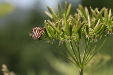 Striped Bug or Minstrel Bug, Graphosoma lineatum