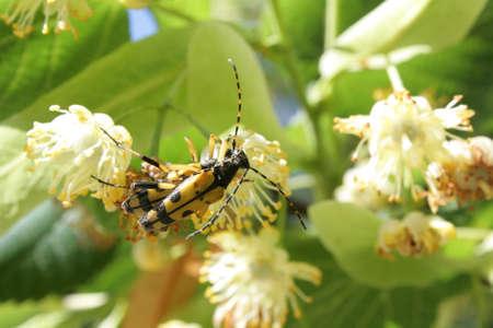 Spotted Longhorn beetle , Rutpela maculata